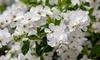 One or Three Spring-Flowering Exochorda Niagara Plants