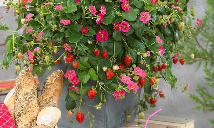 Jusqu 39 62 plante de fraisier roman groupon - Planter fraisier en jardiniere ...