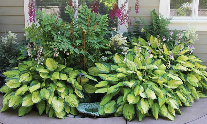 Hosta Perennial Mixed Bare Root Plants (9-Pack): Hosta Perennial Mixed Bare Root Plants (9-Pack)