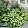 Hosta Perennial Mixed Bare Root Plants (9-Pack)