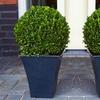 Topiary Buxus Balls
