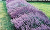 English Lavender Bare Root Plants (3-, 6-, or 12-Pack)