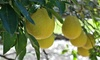 Meyer or Eureka Lemon Citrus Tree Live 4 Inch Potted Plant