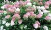 Fleur Hydrangea Vanilla Fraise