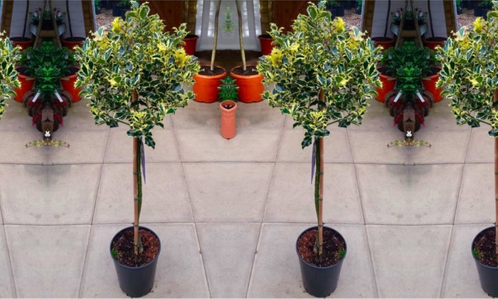 Gardening Express: Two Festive Patio Holly Trees U0027Varigatau0027 (£29.19) In ...