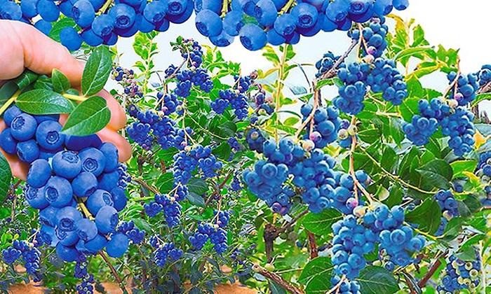 Beliebt Bevorzugt Trauben-Heidelbeer-Pflanzen | Groupon Goods &VG_63