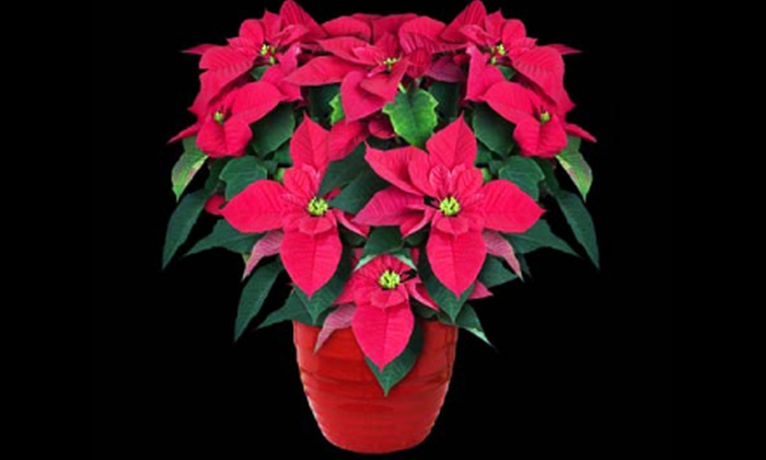 Linder's Garden Center - North of Maryland: $15 for One Potted Poinsettia at Linder's Garden Center in St. Paul ($30 Value)
