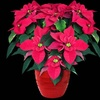 Half Off One Potted Poinsettia in St. Paul