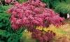 One or Two Acer Palmatum Atropurpureum 3-litre Plants