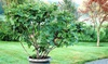 1 o 2 piante di albero di Fico