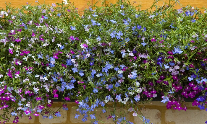 24, 48 or 72 Lobelia Plants with Optional Hanging Baskets from £4.50