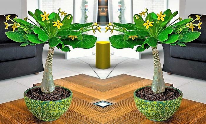 Jusquà 61% palmier de hawaï groupon
