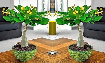 1 ou 2 Palmiers de Hawaï (Brighamia) (SaintEtienne)