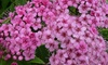 """2 o 4 piante di Spiraea """"Anthony Waterer"""" Perfect Plant Deal"""
