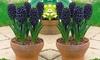 8 ou 16 bulbes de Hyacinthe 'Midnight Mystic'