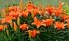 Royal Orange Flower Bulb Collection: Royal Orange Flower Bulb Collection