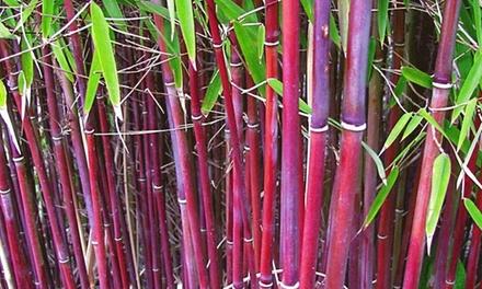 """Roter Bambus """"Chinese Wonder"""" im 12 l Topf, Liefergröße bis zu 50 cm im 3er, 6er oder 9er Set"""