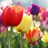 Extravagant Color Tulip Bulb Mix (25-Pack)