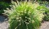 1 ou 2 pots de Pennisetum alopecuroides 'Hameln'