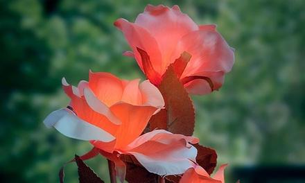 2 rosas con luz LED y energía solar disponibles en color rojo o amarillo