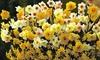 Daffodil Sweet Aroma Mixed - 10, 20 or 40 Bulbs