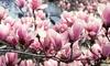 Magnolias de Soulange