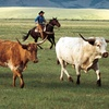 Half Off Cattle-Drive Experience in Young