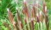Red Headed Fountain Grass (2 Plants): Red Headed Fountain Grass (2 Plants)