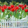 Ruby Red Tulip Bulbs (8-, 16-, or 28-Pack)