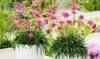 Armeria bloeiende grasplantjes