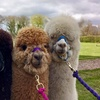 Two-Hour Alpaca Trek for Two