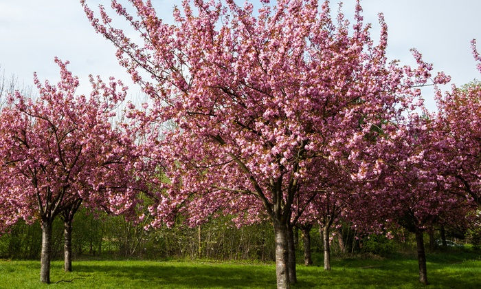 Up To 46 Off Flowering Cherry Blossom Tree Groupon