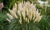 Plante Cortaderia selloana 'Pumila'