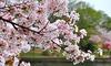 Cerisiers fleurs Kojo-no-mai