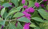 Callicarpa Profusion Beautyberry