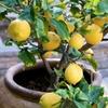 3er-Set Zitruspflanzen