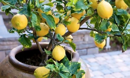 1x oder 2x 3er-Set Zitruspflanzen für Garten, Balkon oder Terrasse  (Frankfurt)