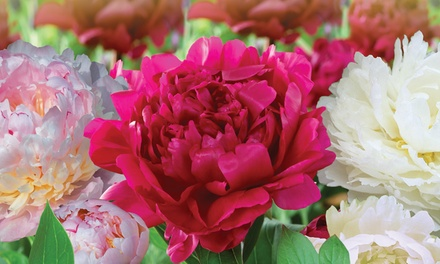 Peony Collection with Fertilizer from £9.99 With Free Delivery
