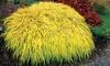 "Pre-Order: Golden Japanese Forrest Grass 3"" Potted Plant"