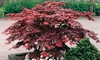 2 or 4 Japanese Young Maple Trees