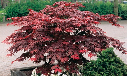 Two or Four Japanese Young Maple Trees with Optional Pots