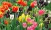 100 Tulip Rockstar Bulbs