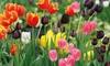 100 or 200 Tulip Rockstar Bulbs