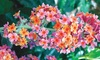 """Rainbow Butterfly Bush 3"""" Potted Plant"""