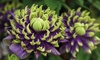 Plante Clematis 'Taiga'