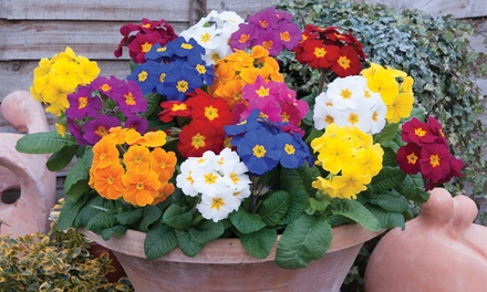 Bumper Winter Bedding Collection 108 Plants for £19.99 With Free Delivery