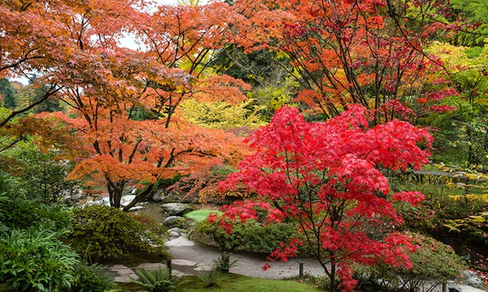 Four Or Eight Japanese Maples Groupon Goods