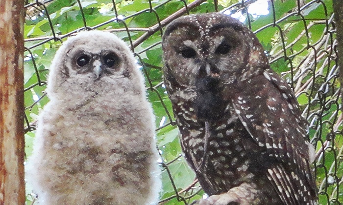 Mountain View Conservation & Breeding Centre - Langley: Adoption of an Owl and Tour for Two or Four at Mountain View Conservation & Breeding Centre (Up to 62% Off)