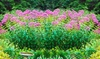 Giant George Pye Bare Root Plants (4- or 8-Pack, or 16-Pack)