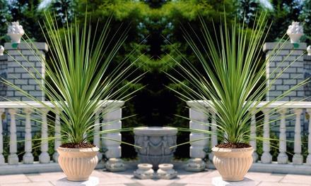 Set di piante Cordyline Indivisa